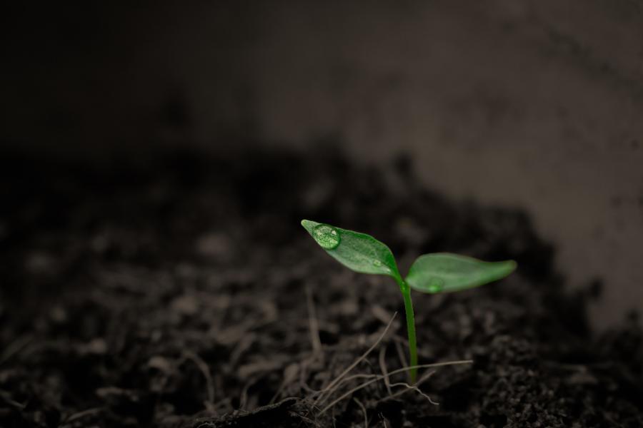 Spirende plante