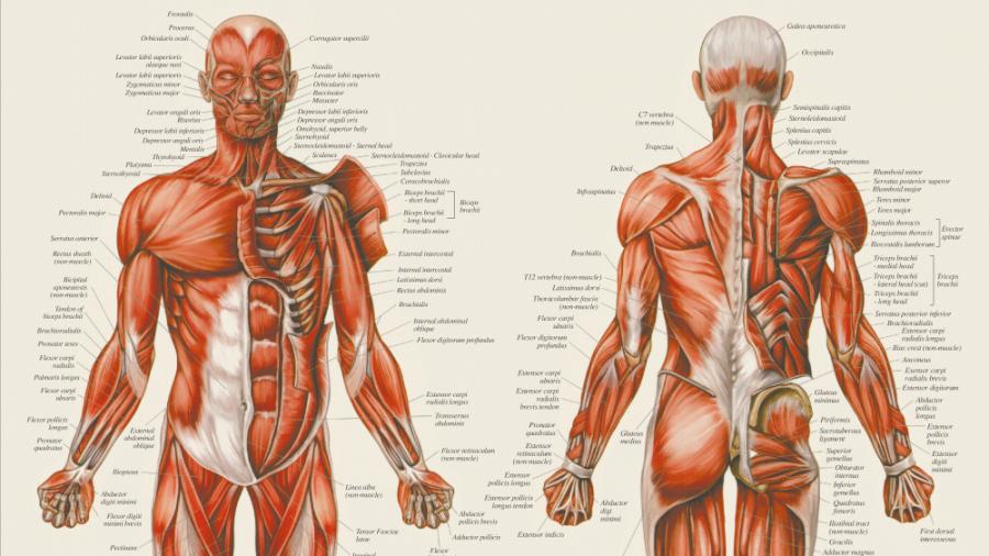 Plakat med menneskets muskler