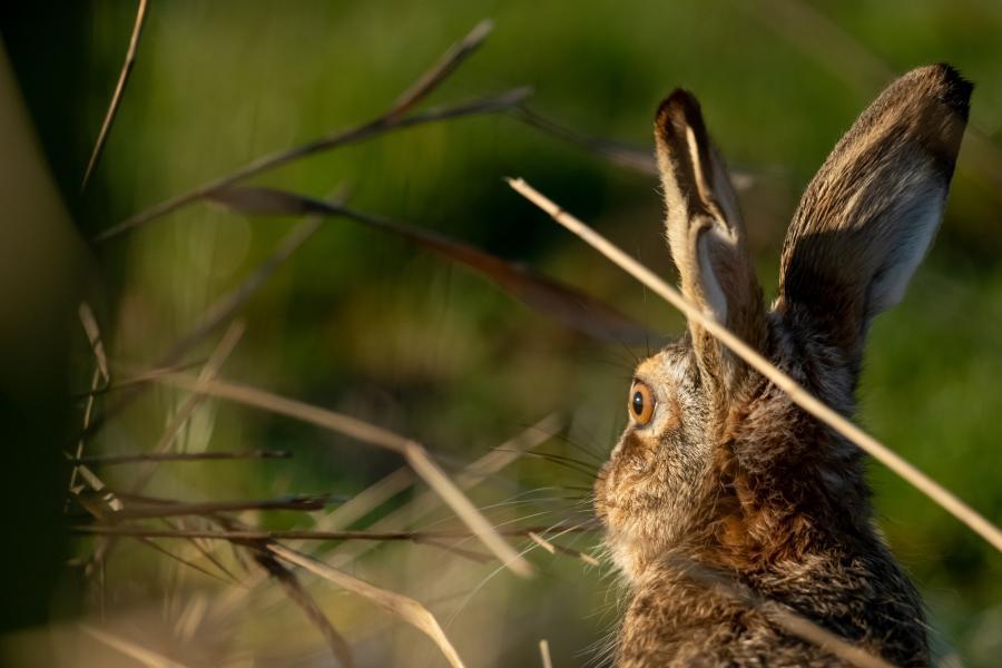 Foto af hare